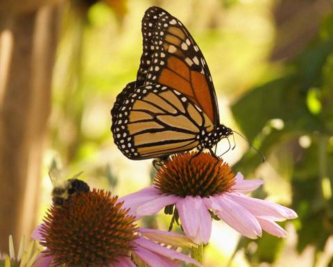 Monarch-and-bee_Virginia-Sanderson