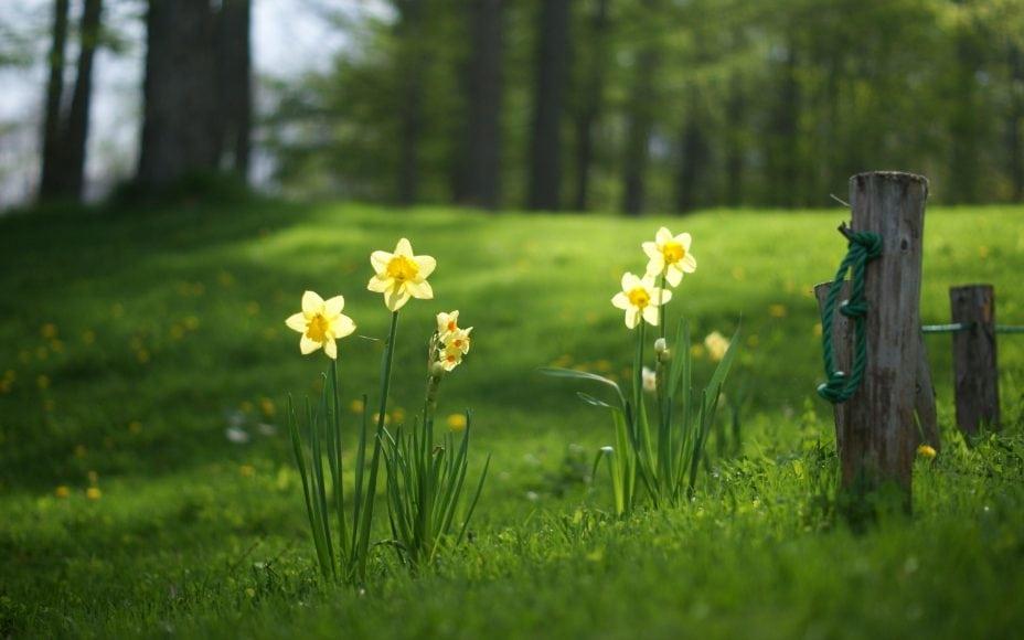 easter-daffodil
