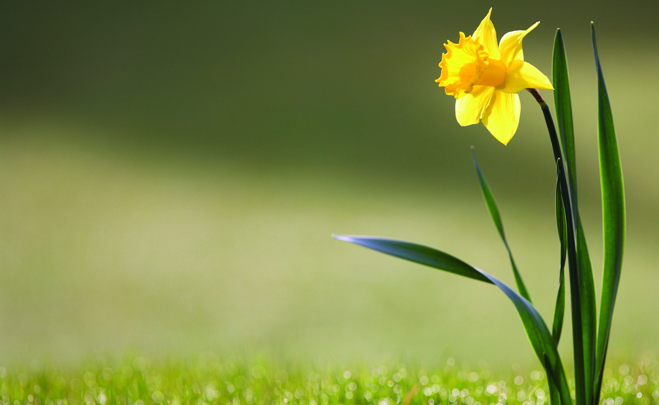 Daffodil-Wallpapers-scaled جهان تنها!