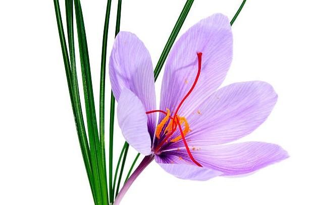 Bildresultat för گل زعفران
