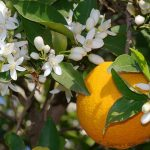 پدر و درخت پرتقال